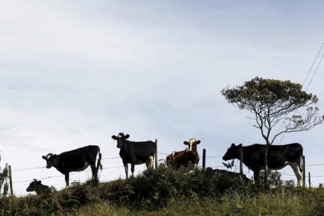 Imagen de archivo de ganado bovino en una colina cerca del pueblo de Santa Rosa de Osos en Colombia. 11 de agosto, 2015. REUTERS/Fredy Builes
