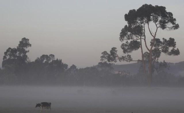 En la imagen de archivo una vaca pastando en una granda cerca de Bogotá, Colombia el 17 de enero de 2016. REUTERS / John Vizcaino.