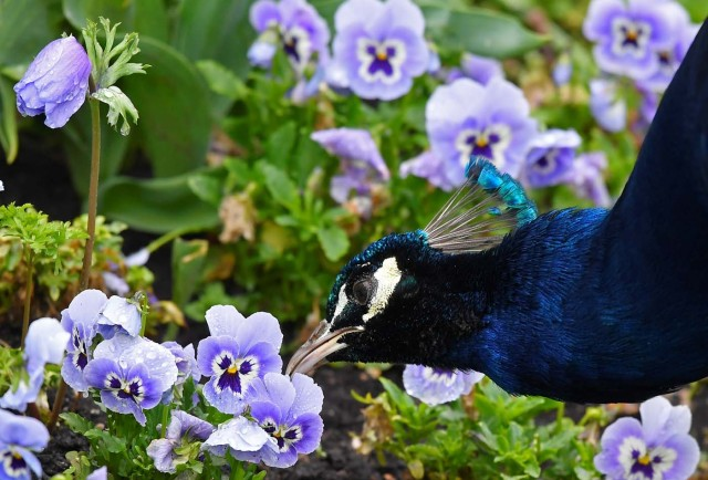 A peacock feeds amongst spring blooms in Holland Park in west London, Britain, April 28, 2018. REUTERS/Toby Melville