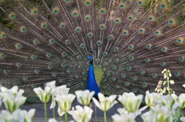 A peacock displays his plumage as part of a courtship ritual to attract a mate, at a park in London, Britain, May 4, 2018. REUTERS/Toby Melville