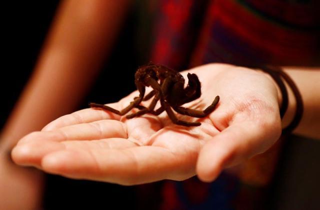 Una araña es alimentada con insectos en una exposición en el Museo de Queensland con motivo del Día Internacional de los Museos en Brisbane (Australia) Mick Fanning. EFE