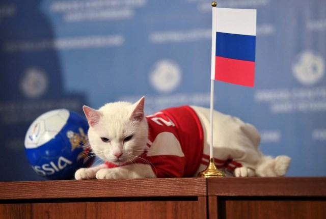 El gato Aquiles, uno de los cazadores de ratones del Museo Estatal del Hermitage, descansa sobre una mesa mientras intenta predecir el resultado del partido inaugural de la Copa Mundial de la FIFA 2018 entre Rusia y Arabia Saudita durante un evento en San Petersburgo, Rusia 13 de junio de 2018 . REUTERS / Dylan Martinez
