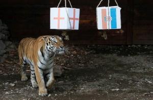 FOTO: Entre Inglaterra y Croacia… ¿A quién escogió este tigre?
