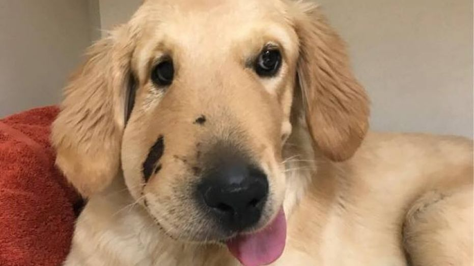 Un perro arriesgó su vida para salvar a su dueña