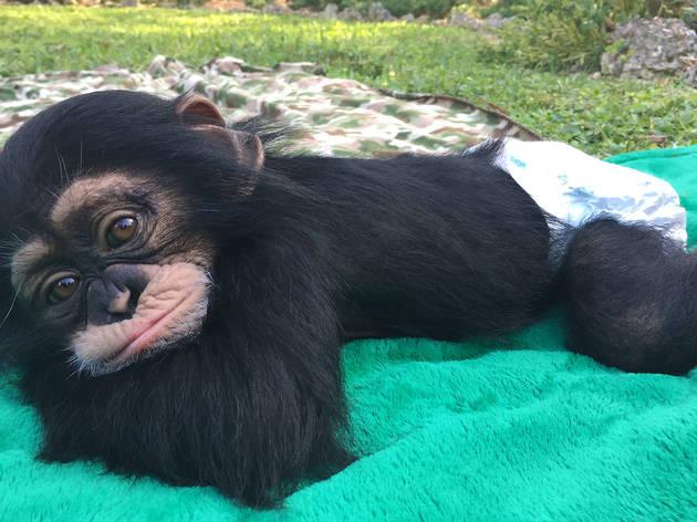 Un reencuentro de puro amor entre un chimpancé y su cuidador
