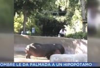 "Buscan a un hombre que le dio una ""nalgada"" a un hipopótamo (Video)"