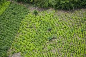 Gobierno peruano erradica 18 mil hectáreas de hojas de coca ilegales