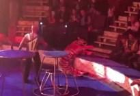 El impactante momento en que una tigresa sufre convulsiones en pleno show en un circo de Rusia (Video)