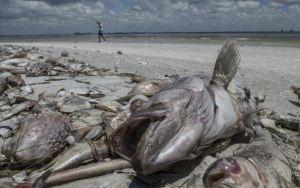 Mortandad de peces por la marea roja perjudica el turismo en la costa de Florida (Fotos)