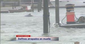 ¡Insólito! Delfines nadan en las calles de Carolina del Norte tras el paso del huracán Florence (Video)
