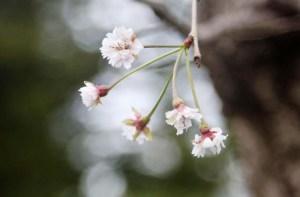 Los cerezos de Japón florecen por sorpresa en pleno otoño (fotos)