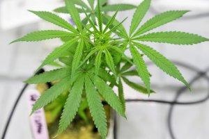 """El verdadero origen del """"4:20"""", el número que celebra el consumo de cannabis"""