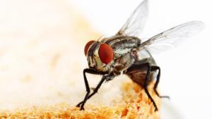 Ya podrás morir en paz luego de ver a una mosca hacer pipí (VIDEO)