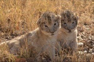 Nacen en Sudáfrica los primeros leones concebidos por inseminación artificial