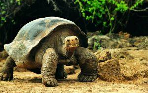 ¡Interesante! Las tortugas gigantes poseen genética relacionada con la reparación del ADN