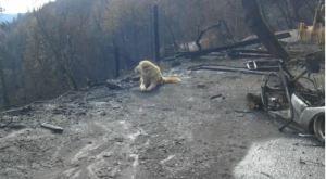 Un perro que sobrevivió al incendio en California cuidó la casa de su dueña durante semanas (Fotos)