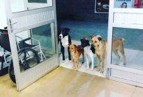 ¡Aaaww! Cuatro leales perritos esperaron a las puertas de un hospital mientras su dueño era atendido