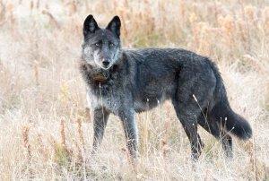 ¡Lamentable! Cazadores le quitaron la vida a la loba más famosa de EEUU