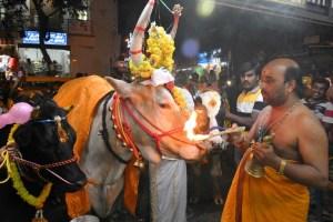 Vacas caminan sobre fuego en un festival en India (Fotos)
