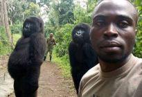 VIRAL: Estos gorilas se tomaron una selfie con un guardabosques y las poses TE SORPRENDERÁN