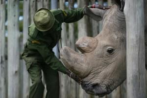 La última esperanza ante la extinción del rinoceronte blanco: Inseminación artificial