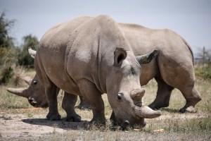 Científicos logran fecundar 7 óvulos para salvar a los rinocerontes blancos del norte