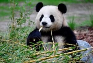Embarazada Meng Meng, la osa panda del zoológico de Berlín
