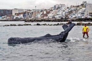 Muere ballena que había quedado varada en playa de Lima