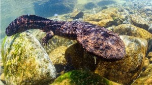 El anfibio más grande del mundo es chino y está en riesgo de desaparecer