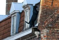 ¡SUSTO! Capturaron en Francia a una imponente pantera que paseaba por los tejados
