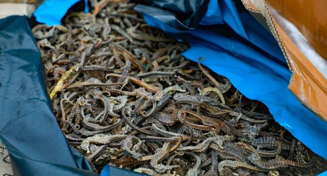 Perú decomisa 12,3 millones de caballitos de mar disecados / Foto publimetro.pe