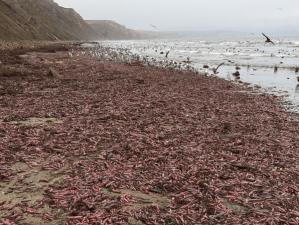 """Miles de """"peces pene"""" quedaron varados en una playa de California (Fotos)"""
