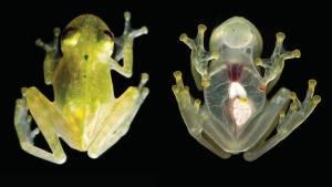 """La extraña """"rana de cristal"""" reaparece luego de 18 años en bosque de Bolivia"""