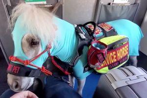 Mujer de Michigan sube a bordo un mini caballo y viaja con él en avión