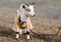 Insólito: Multaron a un hombre por pasear a su cabra en la calle durante la cuarentena (FOTO)
