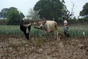 Enfermedades por falta de vacunas llevan al mínimo producción agropecuaria en Bolívar