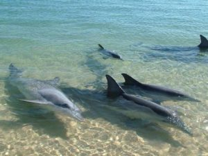 Delfines visitaron la orilla de una playa en Margarita