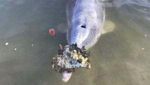 Un delfín lleva regalos a cambio de comida en Australia (FOTOS)