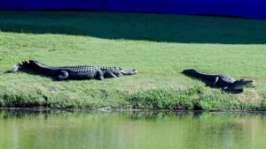 Dos cocodrilos convirtieron un campo de golf en un ring de boxeo por horas (Video)