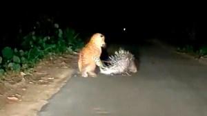 VIRAL: Un puercoespín le enseñó una dolorosa lección al leopardo que lo acechaba (Video)