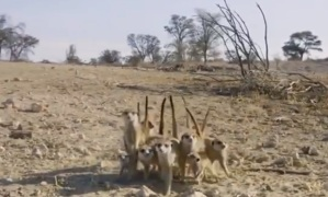 """La increíble """"danza guerrera"""" de un grupo de suricatas antes de enfrentarse a una cobra (VIDEO)"""