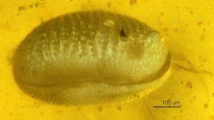 Impactante hallazgo de la prehistoria del sexo: Espermatozoides gigantes de hace 100 millones de años