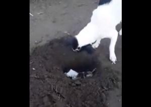 VIDEO: Perra cava una tumba para enterrar a su cachorro recién fallecido