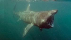 EN VIDEO: Se topó cara a cara con un tiburón de más de cinco metros al nadar en aguas con poca visibilidad