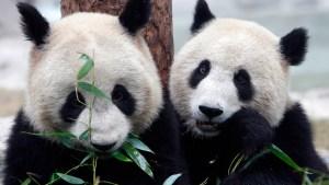 El cortejo y la cópula de una pareja de pandas salvajes, un evento pocas veces documentado (VIDEO)
