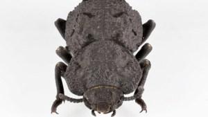 """Descubren el secreto de la resistencia del escarabajo """"diabólico acorazado"""" (VIDEO)"""