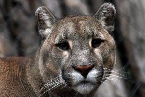 Investigan en Chile la muerte de una mujer supuestamente atacada por un puma