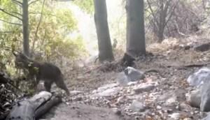 La INCREÍBLE técnica de un lince para luchar contra una serpiente cascabel (VIDEO)