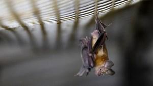Existen otros tipos de coronavirus en murciélagos capaces de pasar a los humanos, advierte una viróloga de Wuhan