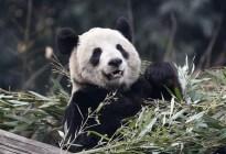 Luego de estar en peligro de extinción, nacieron dos crías de pandas gigantes... ¡En perfecto estado de salud!